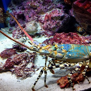 Fresh #lobster #Okinawa style! ~#Churaumi #Aquarium #Japan #travel #photooftheday #bestoftheday #photo #trip #holiday #vacation #vscocam #VSCO #nature #picoftheday #instagood #instadaily #all_shots #ocean #crustaceans