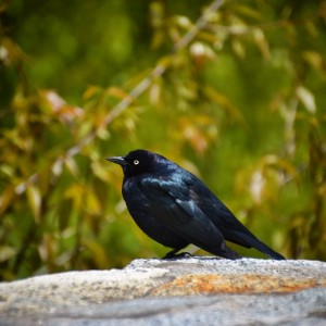 Was able to #capture the #Tahoe #bird before #flight! ~ #black #nature #ohyeah #hike
