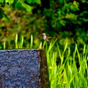 The #hummingbird #dive to the #bird #bath ~ #nature #green #beauty #happiness #love #fountain #light